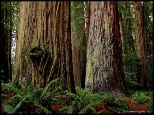 Gargantuan California Redwoods