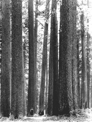 Dense Old Growth Forest in Western WA State.