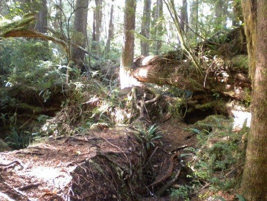 Massive large woody debris on the forest floor next to